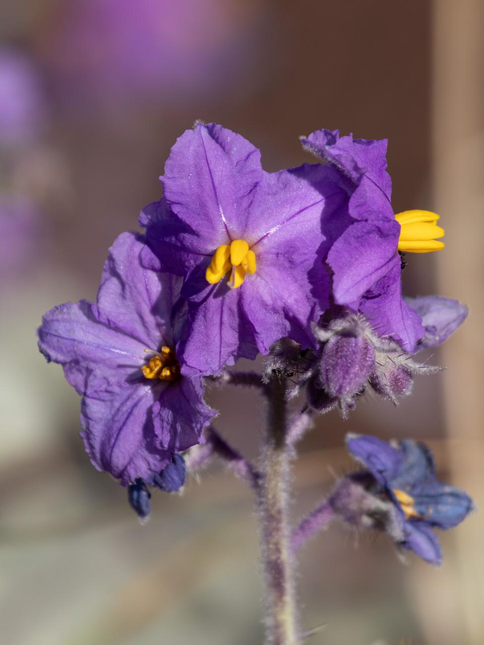 Solanum Quadriloculatum (or Wild Tomato)
