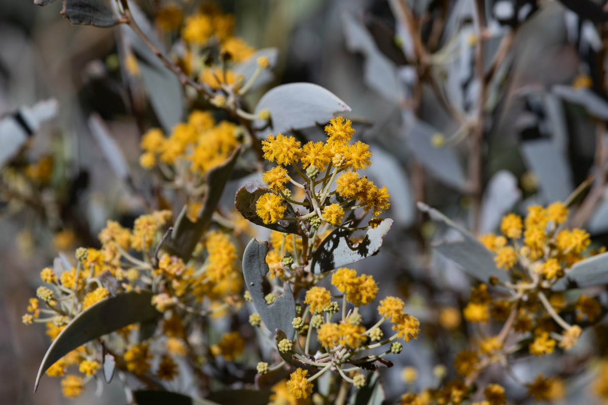 flowering native