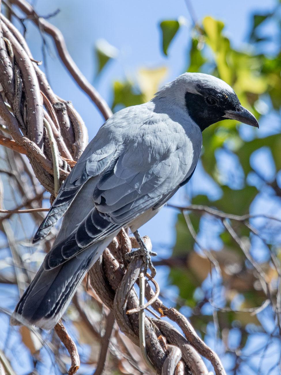 Black-faced Cuckoo-shrike - Olive Pink Botanic Garden