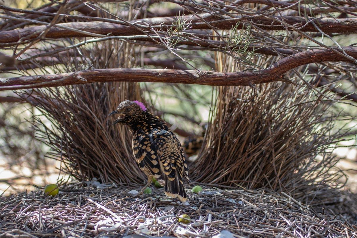 Western Bowerbird - Olive Pink Botanic Garden