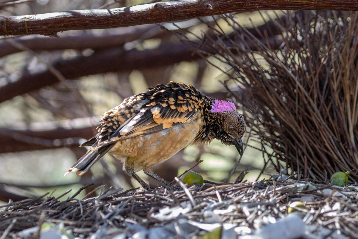 Olive Pink Botanic Garden - Western Bowerbird
