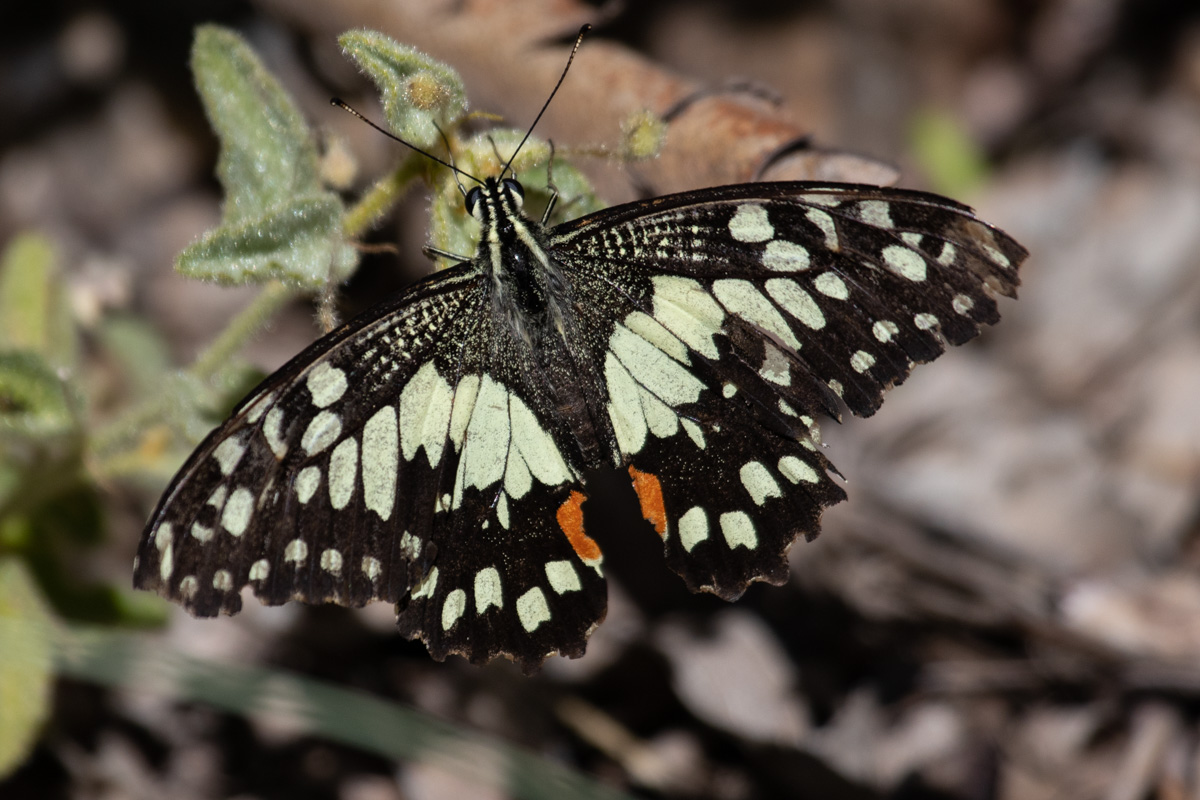 Chequered Swallowtail Butterfly - Olive Pink Botanic Garden