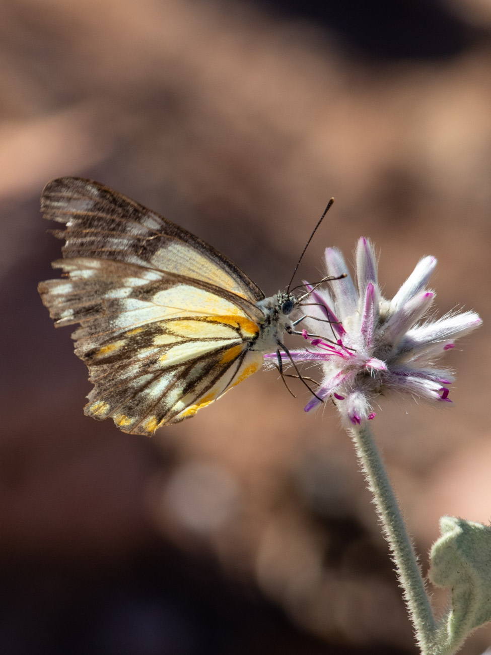 Caper White Butterfly - Olive Pink Botanic Garden