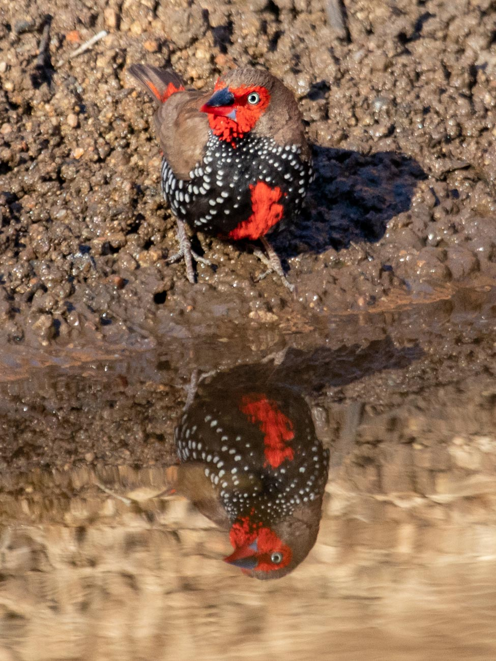 Painted Finch - Trephina Gorge