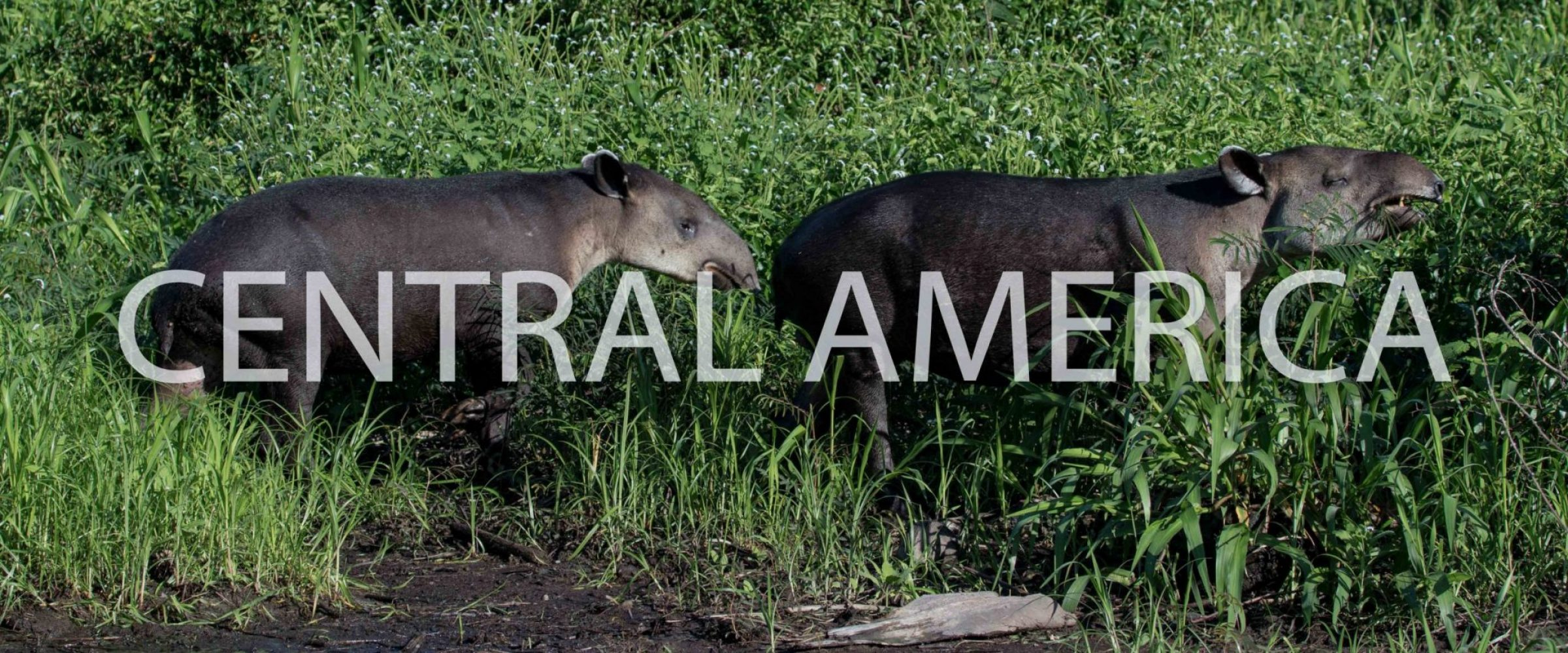 Tapirs, Corcovado National Park - Costa Rica